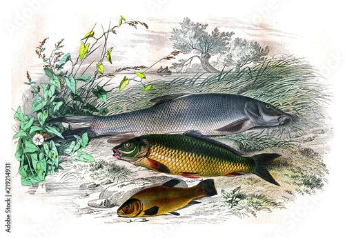 Fényképezés  The barbillon, The carp, the tench, vintage engraving.