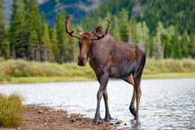 Young Bull Moose Walking From ...