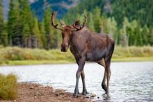 Young Bull Moose Walking From Lake