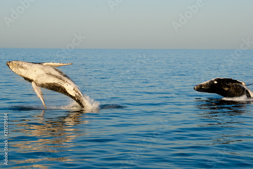 Humpback Whales - Exmouth - Australia