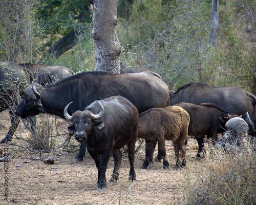 Staande foto Buffel Herd of African Buffalo