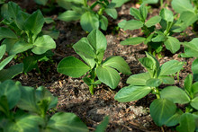 Young Broad Bean Shoots In A Garden Bed.