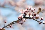 Fototapeta Kwiaty - Kwitnące drzewo 4