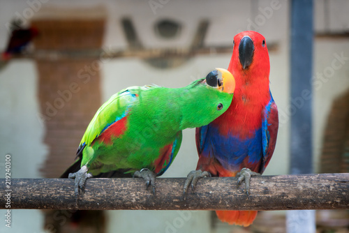 Couple of Green red Parakeet Alexandrine Parakeet parrots perching at wood branch in jungle.