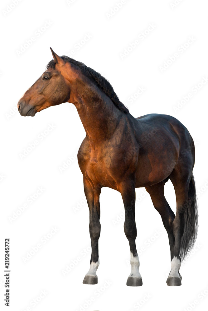Fototapety, obrazy: Bay horse standing isolated on white background