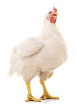 White Big Hen.