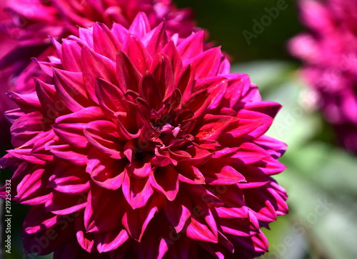In de dag Dahlia Purple Dahlia close-up in sunny garden