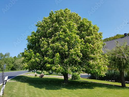 Kastanienbaum, Aesculus, hippocastanum
