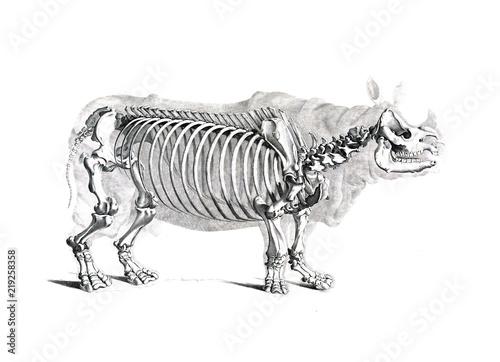 Fototapeta premium Szkielet zwierzęcia