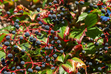 Blue Berries Of Wild Ivy. Wild...
