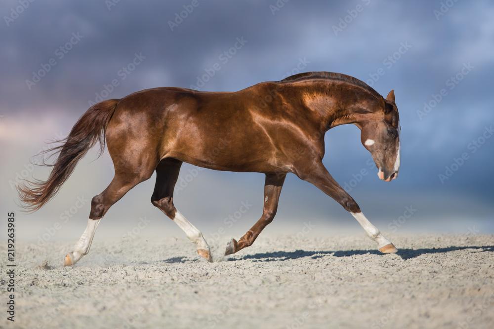 Red horse run trot in desert dust against blue sky