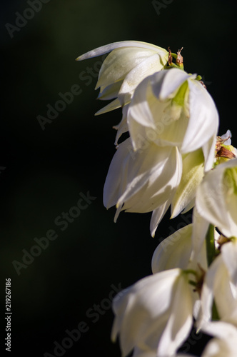 White Yucca filamentosa bush flowers in park, close up. Canvas Print