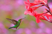 Hummingbird Green-crowned Bril...