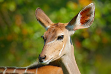 Tragelaphus Angasii, Lowland Nyala, Close-up Head Detail. Art View On African Nature. Wildlife In South Africa. Brown Fur With White Lines. Portrait Of Nyala Antelope, Okavango Delta, Moremi, Africa.