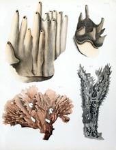 Illustration Of Spongiaires