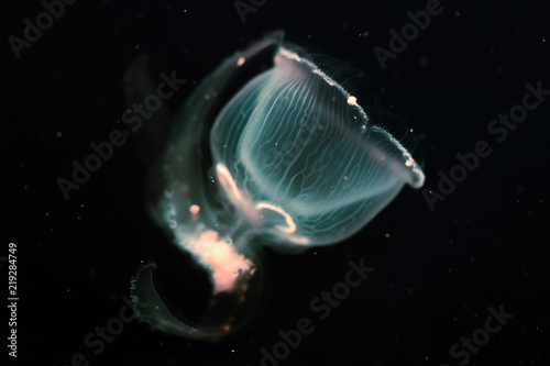 Photo  Close-up picture of beautiful jellyfish floating in ocean
