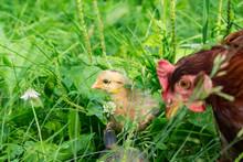 Little Free-range Chick In Tal...