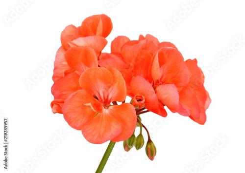 Fototapeta Balmy Geranium flower obraz na płótnie