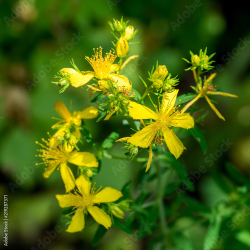 Valokuva  Closeup of perforate St John's-wort flowers (Hypericum perforatum)