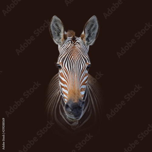 Poster Zebra Cape Mountain Zebra Portrait