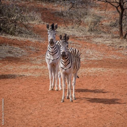 Tuinposter Zebra Burchell's Zebra