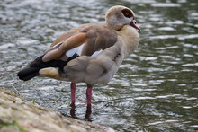 Photo Of An Egyptian Goose Standing On The Waters Edge
