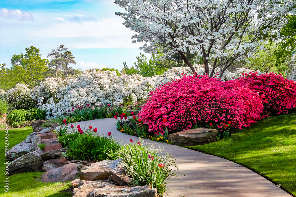 Fototapeta Curved path through banks of Azeleas and under dogwood trees with tulips under a blue sky - Beauty in nature