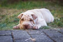 Shar Pei Puppy Dog