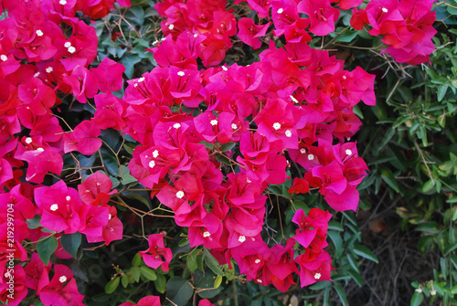 Photo Beautiful bougainvillaea flower