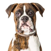 Closeup Boxer Dog Looking Forw...