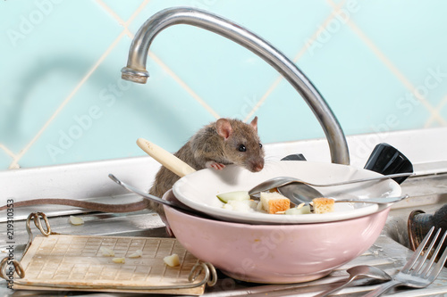 Young rat (Rattus norvegicus) climbs into the dish with the leftovers of food on a plate on sink at the kitchen. Fight with rodents in the apartment. Extermination.