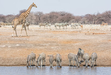 Zebra At A Water Hole