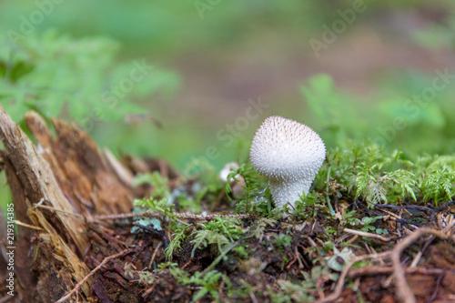 Fotografie, Obraz  Vescia bianca Lycoperdon perlatum