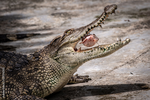 Tuinposter Krokodil Portrait of freshwater Crocodile in a farm in Thailand, Phuket Crocodile farm, feeding the Crocodylus with raw chicken, it is one of the tourist attraction in Phuket
