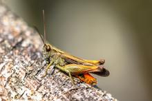 Woodland Grasshopper On Branch