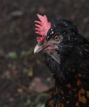 Black Scraggly Chicken