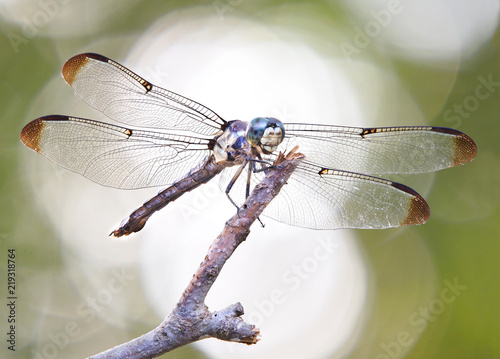 Focus Stacked Backlit Close-up Image of a Blue Dasher Dragonfly