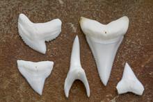 Modern Shark Teeth (Lingual Vi...