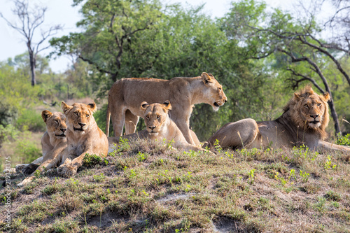 lion-family-coming-from-kruger-into-sabi-sands-game-reserve-and-resting-on-a-small-hill-at-a-watherhole-in-south-africa