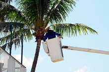 A Worker In A Lift Basket Trimming Palm Trees At Southpointe Park,in Miami Beach,Florida
