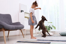 Adorable Chocolate Labrador Retriever And Little Girl At Home