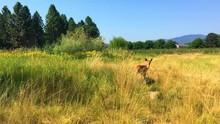 A Fawn Whitetail Deer Runs Awa...