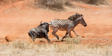 Zebra And Blue Wildebeest