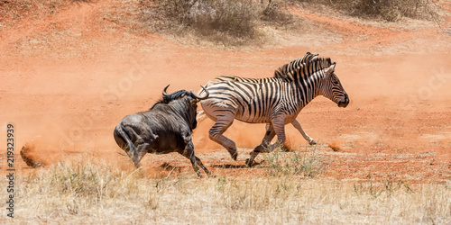Foto op Canvas Zebra Zebra And Blue Wildebeest
