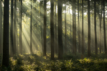 Light rays at sunrise in a forest