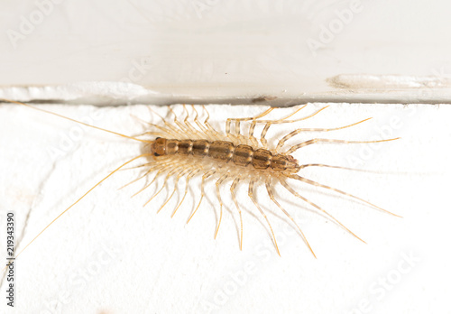 Foto House centipede on the wall