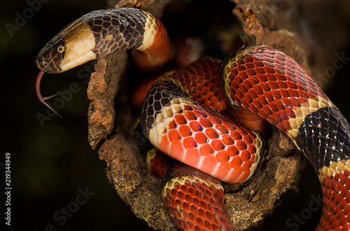 A colorful costa rican coral snake
