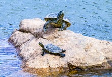 Two Turtles Sitting On A Rock ...