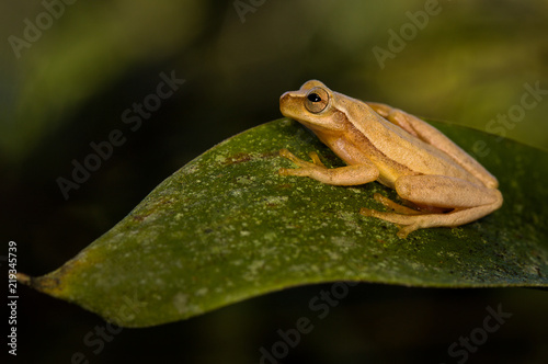 Foto op Plexiglas Kikker A yellow tree frog on a leaf. Photograph taken in Costa Rica