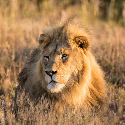 Staande foto Leeuw Male Lion At Sunrise